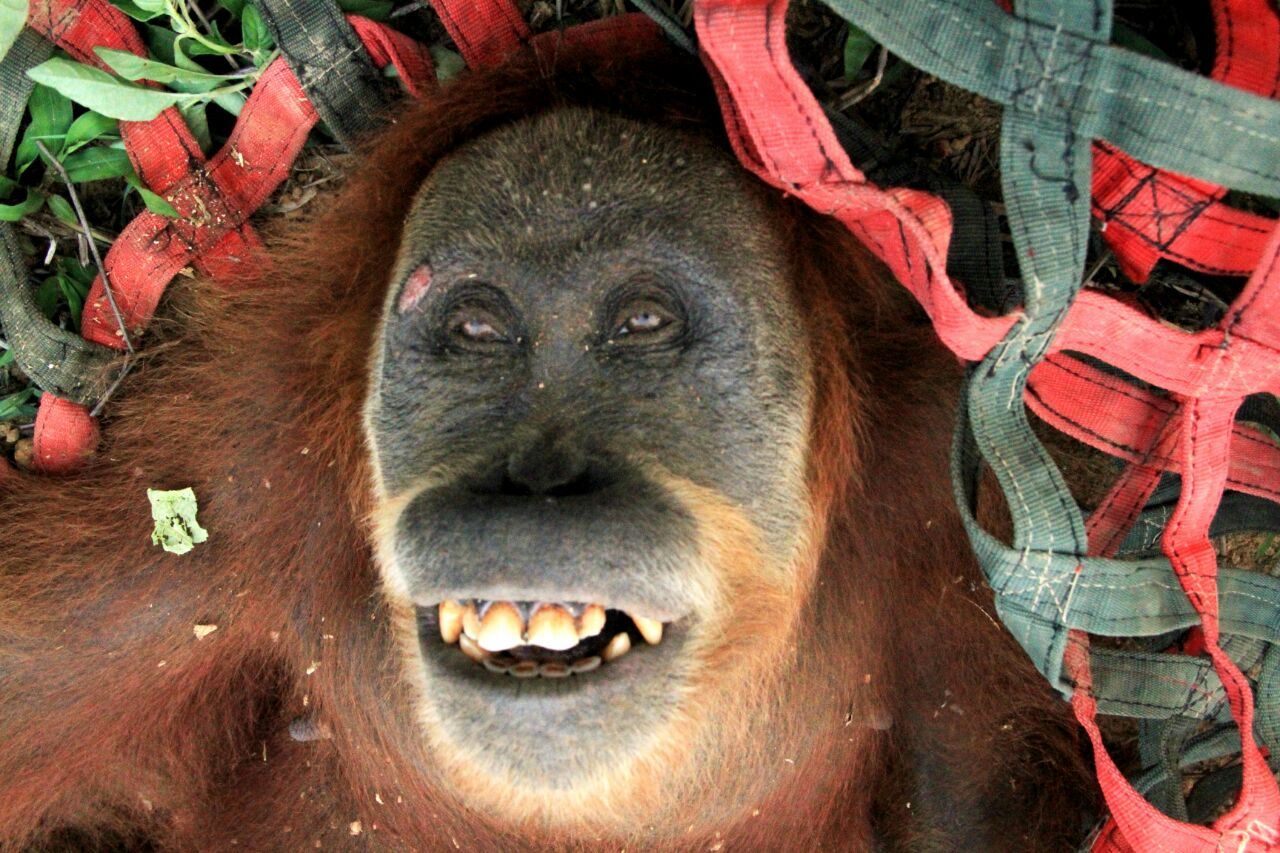 Isolated in Plantation, a Female Orangutan Translocated into Safety in Leuser Forest
