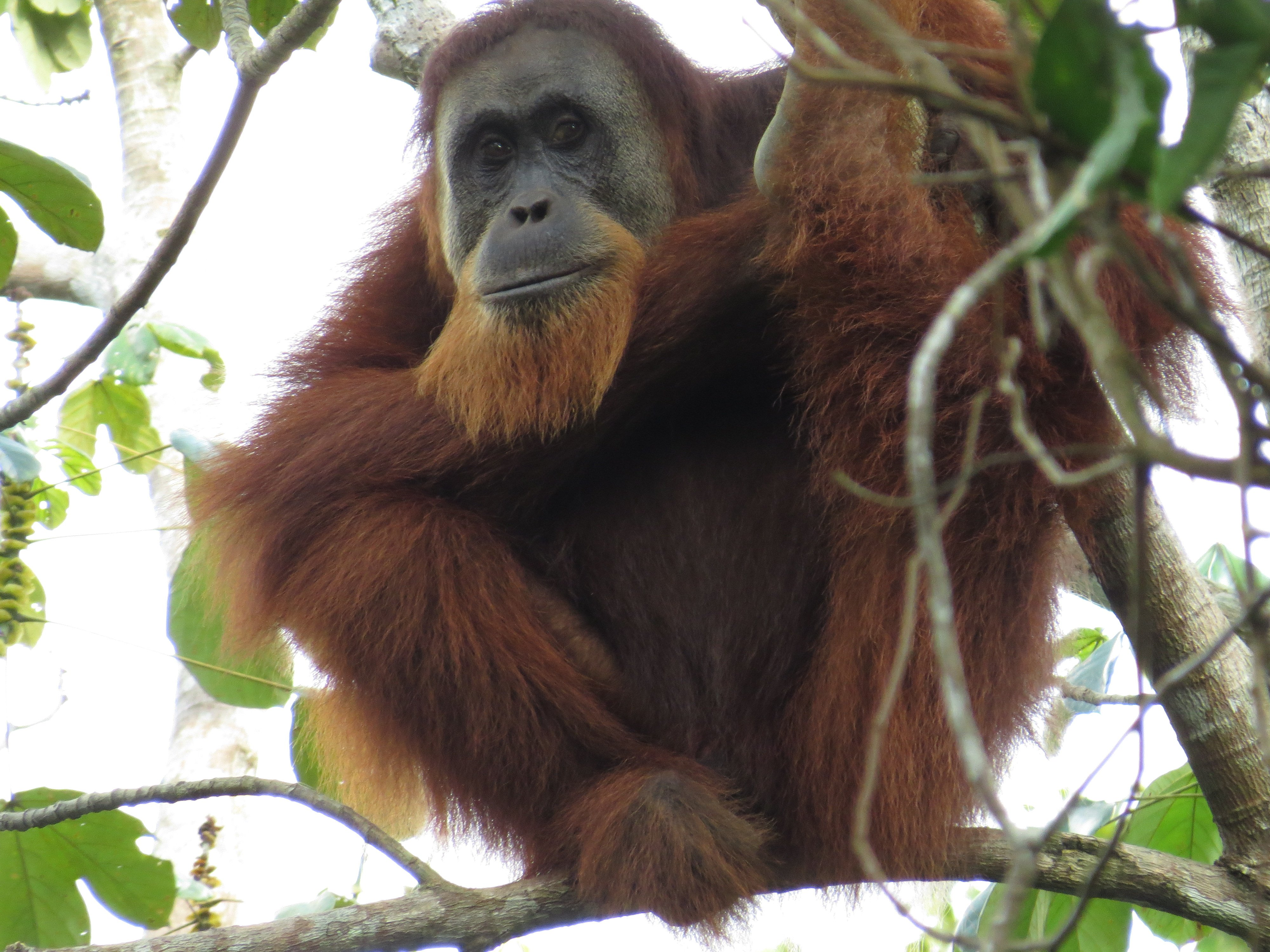 Orangutans spotted at Singkil!