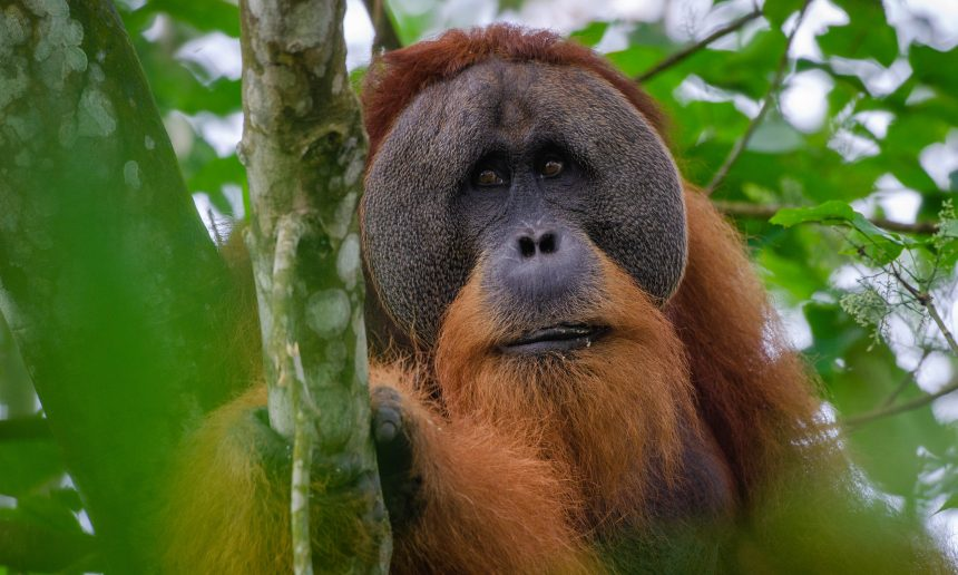 Covid-19 and orangutans.