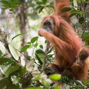 Tapanuli Orangutans on TV