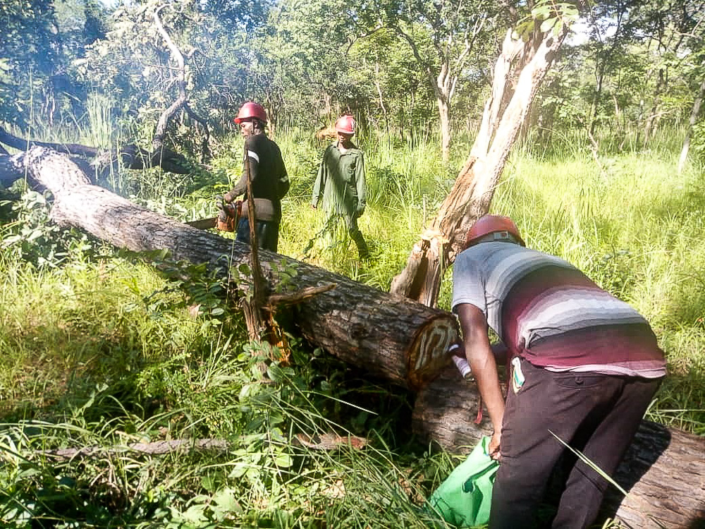 First sustainable timber harvest of the year in Tanzania