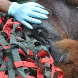 The orangutan rescuers still need your help.