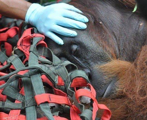 The orangutan rescuers still need your help.