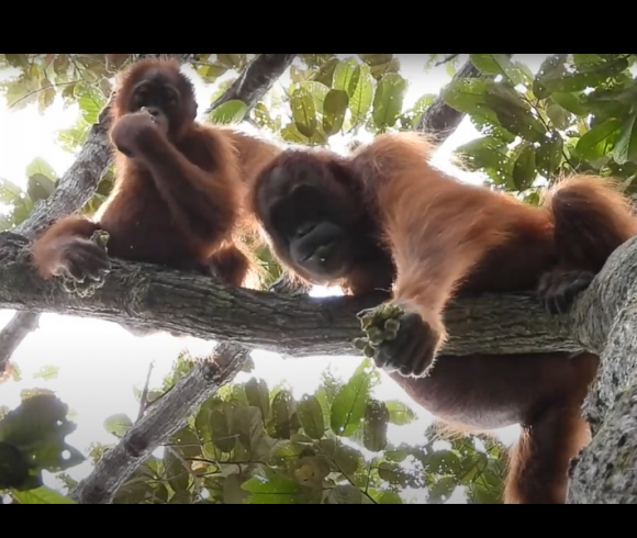 Orangutans spotted at Cinta Raja III Restoration site