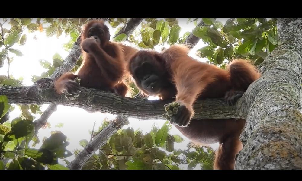 Orangutans spotted at Cinta Raja III Restoration site